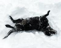 Annie, a black lab, makes her style of snow angels in a Chambersburg, Pa., parking lot during a winter storm. (Markell DeLoatch/Public Opinion, via AP)