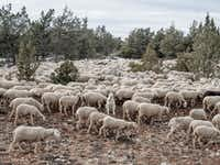 A mastiff sits among sheeps as they graze near the village of Codes on February 14, 2015 near Molina de Aragon, Spain. Agriculture and ranching are the main economic sources all around the region. The process of de-industrialization and de-population, that has lasted since the 1950's, has left behind a vast region of Central Eastern Spain that competes with Siberia and the Artic provinces of Lapland as the least populated zone in Europe. As large as Austria, and less than two hours driving distance from Madrid, the region along the Spanish provinces of Soria, Guadalajara, Teruel and Cuenca is becoming Europe's largest desert in terms of population. (David Ramos/Getty Images)