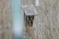 A bluebird pokes his head out of a bird house along a trail in the Heard Sanctuary.