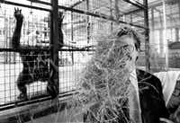 Michael Meadows, executive director of the Dallas Zoological Society, gets some hay in the face courtesy of Bon Bon the chimp, left. Mr. Meadows was posing for a picture in conjunction with our story about a May 1995 bond election that would upgrade exhibit living conditions for animals such as chimps and tigers at the zoo. (Randy Eli Grothe/The Dallas Morning News)