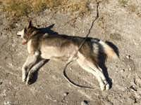 This Husky, found with his back legs bound, died of parasitic pneumonitis, according to a necropsy.
