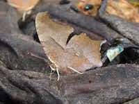 A question mark butterfly is drawn to the flesh of an overripe banana.