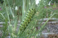 When hot weather causes a food shortage, the eastern swallowtail caterpillar can prolong the pupa stage for months before emerging as a butterfly.