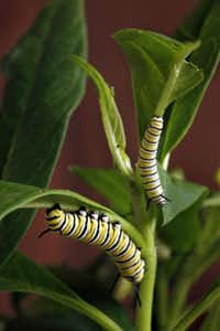 Fat, happy monarch caterpillars munch on milkweed, which has to be replenished daily as the larvae grow.( Evans Caglage  -  Staff Photographer )
