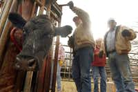 Mike Gidney (center) and his father, Norman, process and inoculate cattle on a friend's ranch near Melissa.