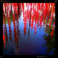 Chihuly's Red Reeds are reflected in a circular pond outside the Alex Camp House of the Dallas Arboretum. Photographed with an iPhone using the Hipstamatic app.Tom Fox