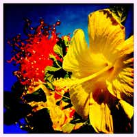 A bright yellow flower is photographed before Chihuly's Citron Green and Red Tower using the Hipstmatic app on the iPhone at the Dallas Arboretum.(Tom Fox)