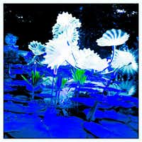 Chihuly's white lotus leaves of  the Persian Pond are photographed using the Hipstmatic app on the iPhone at the Dallas Arboretum.(Tom Fox)