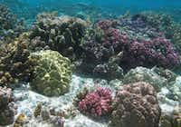 Snorkelers see many beautiful colors and shapes of coral off the coast of Taha'a.Beverly Burmeier - Special Contributor