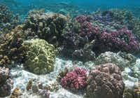 Snorkelers see many beautiful colors and shapes of coral off the coast of Taha'a.(Beverly Burmeier - Special Contributor)