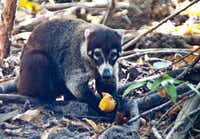 Coatimundi, members of the raccoon family, are among the animals that share the area around the Four Seasons Resort.