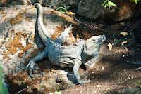 Guests may very well spot an iguana as they walk the grounds of the Four Seasons Resort on Costa Rica's Peninsula Papagayo.