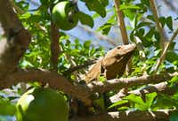 Wildlife is abundant in the lands surrounding the Four Seasons Resort at Peninsula Papagayo.