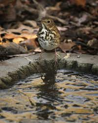 A Hermit Thrush stands by a pool of water at the Dogwood Canyon Audubon Center at Cedar Hill. To date, nearly 100 species of birds have been documented in the area.