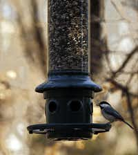 A Carolina Chickadee eats from a feeder at the Dogwood Canyon Audubon Center at Cedar Hill.
