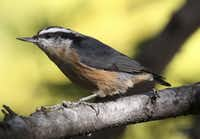 Red-breasted Nuthatch, these are pretty little birds, and we actually have a couple of them that have become regular visitors at the feeders this winter. They seem to be having a bit of an irruptive winter.