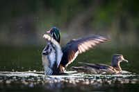Wood duck photo'd at Joe Pool Lake. The area will be included in the Dogwood Canyon Audubon Center Christmas Bird Count, a national effort.