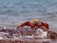 Colorful Sally Lightfoot crabs are another species that delights visitors to the Galápagos.courtesy