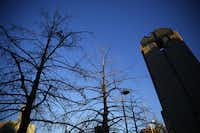 The bald cypresses planted during construction of the Morton H. Meyerson Symphony Center have reached the end of an urban tree's lifespan, the city forester says.