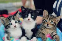 "Catherine Dennis' photo ""No Trouble Here..."" shows three kittens who were adopted through Apollo Support & Rescue.(Catherine Dennis)"