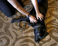 "Guide dog Merrick unwinds as Carla Campbell works his joints, muscles, neck and back. She also massages the places made sore by snug harnesses. ""He really needed this,"" she said.( Rose Baca  -  Staff Photographer )"