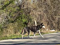 This skinny beat-up-looking husky was wandering Dowdy Ferry Road for several days in early January. She's one of the lucky ones -- caught by rescuers and now in a foster home.