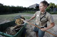 Elephant Keeper Bobbi Wessels tosses a load of hay and elephant droppings into a trailer during the morning elephant enclosure cleaning at the Dallas Zoo Monday, August 5, 2013.