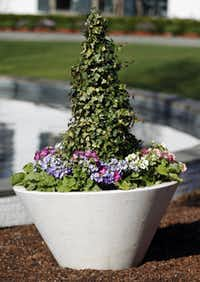 Primulas in Easter-egg colors surround an ivy topiary in a series of large pots. These primulas are not cold-tolerant, so the staff has to cover them nightly to keep them showy for Dallas Blooms.