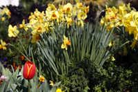 Among a stand of large-cup daffodils stands a lone 'World's Favorite' tulip.