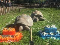 Two Galapagos tortoises, Nancy and Twelve raced to produce cakes to predict the Super Bowl winner on Thursday, February 4, 2016 at the Dallas Zoo. Nancy won and maybe the Denver Broncos. David Woo/The Dallas Morning News)