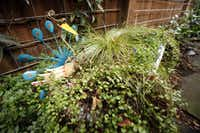 Small tub filled with plants and a colorful peacock in the backyard of Suzy and Rob Renz's home in Dallas on Friday, October 11, 2013.