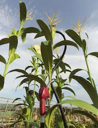 """Children can learn about the products made from corn, including ethanol fuel, at """"The Incredible Edible Garden"""" in the new Rory Meyers Children's Adventure Garden at the Dallas Arboretum."""