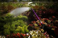 """Ruby Nava uses a huge sprayer nozzle to water plants and flowers in the """"Texas Skywalk & Habitats"""" section of the Dallas Arboretum's new Rory Meyers Children's Adventure Garden."""