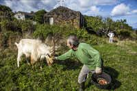 A longtime resident of Pico Island pets one of his neighbor's goats.( Phil Marty )