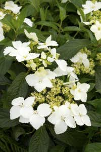 'Golden Crane' hydrangea from Monrovia is noted for producing extremely fragrant blooms — unusual for hydrangeas — of creamy lacecap flowers in late spring. This hydrangea was developed by plant explorer Dan Hinkley from seed collected in southern China. A Blue Enchantress Hydrangea macrophylla, and a Hydrangea Serrata bloom.(Doreen Wynja for Monrovia)