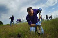 FedEx volunteer Dan Culpepper digs a hole in the hard soil of the Santa Fe Trestle Trail to plant Eastern Gamagrass, Friday, April 27, 2012 as part of an effort  to clean up and beautify  the area which begins the Great Trinity Forest as part of the Trinity Corridor Project.