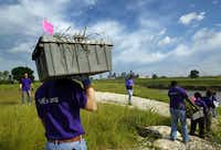 FedEx volunteer Dan Culpepper carries a tub of Indian grass to be planted along the Santa Fe Trestle Trail and Trinity River, Friday, April 27, 2012 as part of an effort  to clean up and beautify  the area which begins the Great Trinity Forest as part of the Trinity Corridor Project.