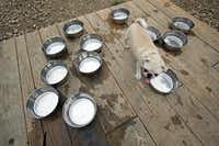 Tyson surveys the water bowls at Mutts in Uptown, which has walkable streets and plentiful restaurants. But the area has few pocket parks, plazas or recreational space.(Nathan Hunsinger - Staff Photographer)