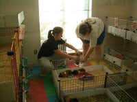 Once or twice a month, animal-loving GLC volunteers could clean cages and help out at Texas Rustlers Guinea Pig Rescue. This was a popular volunteer activity for children, who got to visit with the guinea pigs.(Photo submitted by STACEY CAMPBELL)
