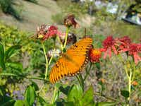 Gulf fritillaries have to rebuild their numbers because our severe winter killed a normally hardy passionvine hybrid, 'Blue Crown.'