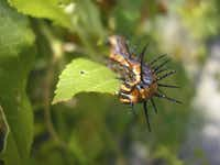 Gulf fritillary caterpillars usually would be defoliating passionvines this time of year.