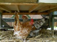 Bantams Louise and Flora wisely took cover under the henhouse during the hailstorm.