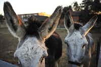 Two curious donkeys walk the edge of their pen at Dallas Heritage Village in The Cedars district.