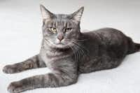 HOWIE Sex: male Breed: domestic shorthair Age: 4 years Though shy at first, Howie really likes attention and loves to be petted and brushed.