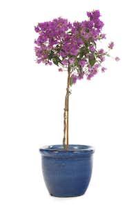 Pink Bougainvillea in blue pot.