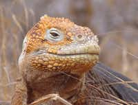 Species such as the Galápagos land iguana are part of the lure of Pikaia Lodge.(courtesy - Photos: Pikaia Lodge)