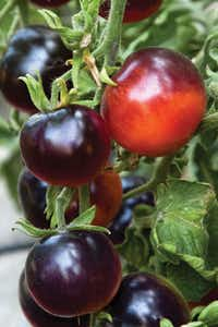 'Indigo Rose' was the first hybrid tomato with anthrocyanin. Created at Oregon State University, local and mail-order retailers may stock transplants in 2015. Seeds from some of the Indigo series already are available online.( Matt Emrich )