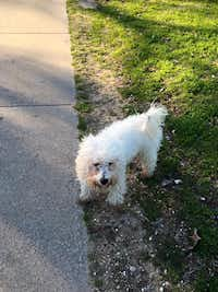 According to walkers at Lake Cliff Park, this pup has been wandering there for several days.