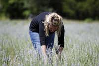 Owner Gwen Snyder harvests lavender to make dried bouquets in one of the two lavender fields at Savannah Meadows.(Sonya Hebert-Schwartz - Staff Photographer)