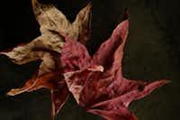 Sweetgum leaves, photographed November 25, 2013.